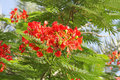 Closeup of beautiful Gulmohar flowers Royalty Free Stock Photo