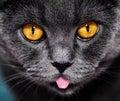 Closeup of beautiful luxury gorgeous grey british cat with vibrant eyes. Dark Background. Selective focus. Dramatic. Royalty Free Stock Photo