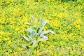 Closeup of beautiful plant with yellow flowers climbing small Royalty Free Stock Image