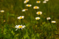 Closeup of beautiful white daisy flowers Royalty Free Stock Photo