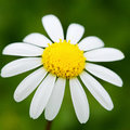 Closeup of a beautiful white daisy on green background Royalty Free Stock Photo