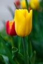 Closeup Beautiful yellow tulip. Vertical Abstract background. Flowerbackground, gardenflowers. Garden flowers Royalty Free Stock Photo