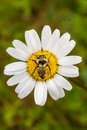 Closeup of a bee perfectly centered on a daisy flo flower with water drop picture taken during the early morning with soft side Stock Image