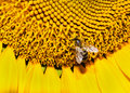 Closeup bee on a sunflower Royalty Free Stock Photo