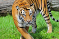 Closeup of a Bengal Tiger Royalty Free Stock Photography