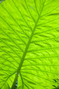 Closeup of the big grean leaf Stock Photo