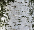 Closeup of birch bark texture, natural background paper Royalty Free Stock Photo