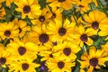 Closeup of Black-eyed Susan in a field Royalty Free Stock Photo