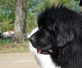Closeup of black newfoundland dog dogs are one the largest breeds they originated in canada and are cold tolerant with a sweet Stock Photography