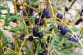 Closeup of black olives plant Royalty Free Stock Photo