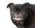 Closeup black pug dog sticking tongue out portrait of purebred looking into camera and Royalty Free Stock Photo
