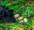 Closeup of black swan eggs in the birds nest, Bird breeding season, Animal reproduction Royalty Free Stock Photo