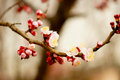 Closeup blooming cherry tree garden Royalty Free Stock Images
