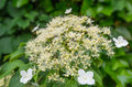 Closeup of a blooming climbing hydrangea detailed view at white flowering against the wall it s summer now Stock Images