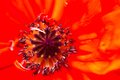 Closeup of the blooming red poppy flower Royalty Free Stock Photo
