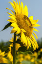 Closeup of blooming sunflower in the field Royalty Free Stock Photos