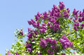 Closeup of blossomed lilac flower bushes against blue sky Royalty Free Stock Photo
