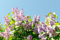 Closeup of blossomed lilac flower bushes against blue sky Stock Images