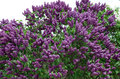 Closeup of blossomed lilac flower bushes against blue sky Royalty Free Stock Photos