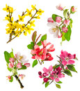 Closeup blossoms apple tree cherry twig forsythia of set of spring flowers isolated on white background Stock Photography