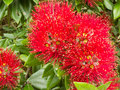 Closeup blossoms of NZ Christmas Tree Pohutukawa Stock Photos