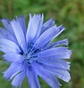 Closeup blue chicory flower green blurry back Stock Photography