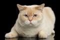 Closeup Blue eyed British Shorthair Cat Lying, Isolated Black Background