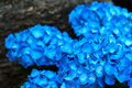 Closeup of blue hydrangea Hydrangea macrophylla Royalty Free Stock Photo