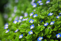 Closeup blue small flower spring Royalty Free Stock Photos