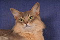 Closeup blue somali cat portrait Royalty Free Stock Photos