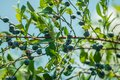 The closeup of the blueberry branches with ripe berries Royalty Free Stock Photo
