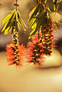 Closeup of bottlebrush plant Royalty Free Stock Photography
