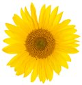 Closeup bright yellow sunflower over white background Stock Photos