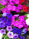 Closeup on brightly colored petunias spring flower beds with hot pink red white and purple flowering Royalty Free Stock Photos