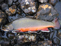 Closeup of brook trout on rocks after being caught during fly fishing Royalty Free Stock Photography