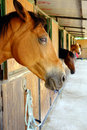 Closeup of brown horse horses in their stables with side view head in foreground Royalty Free Stock Images