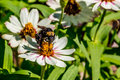 Closeup of a bumble bee feeding on the nectar of white flowers with orange stamens asteraceae family Royalty Free Stock Photography