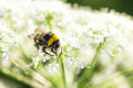 Closeup of bumblebee on cow parsley black and yellow Royalty Free Stock Photos