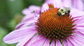 Closeup of a bumblebee on an echinacea flower echinacea purpure macro bombus resting the paleae purple purpurea Royalty Free Stock Photography