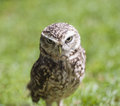 Closeup of burrowing owl detail athene cunicularia in captivity on green grass background Royalty Free Stock Photos
