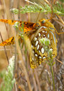 Closeup of Butterflies Mating Stock Images