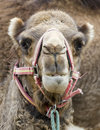 Closeup of Camels Head Royalty Free Stock Photography
