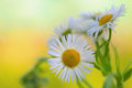 Closeup of camomile Royalty Free Stock Photos