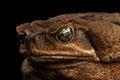 Closeup Cane Toad - Bufo marinus, giant neotropical, marine, Black