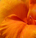 Closeup canna flower Royalty Free Stock Photo