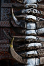 Closeup of carabao buffalo horns hanging on s decorated in sulawesian homes as tradition Stock Images