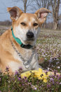 Closeup  Carolina dog Stock Image