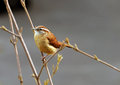 Closeup of a Carolina Wren Royalty Free Stock Photo
