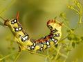 Closeup caterpillar of Spurge hawk moth eats flowers of Euphorbia stepposa Royalty Free Stock Photo