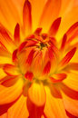 Closeup center bright colored dahlia flower full bloom Stock Photos